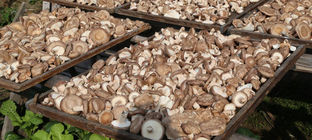 פטריות שיטאקה אנטי ויראליות אמיר פרלמן מטפל מומחה בפטריות מרפא ממליץ בחום